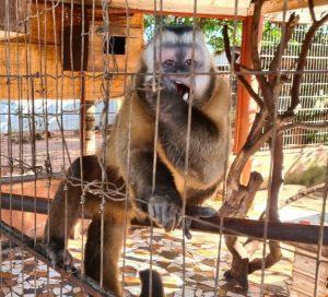 PMA, IBAMA e Imasul apreendem araras, macacos, jabutis, papagaio e periquito em Cassilândia