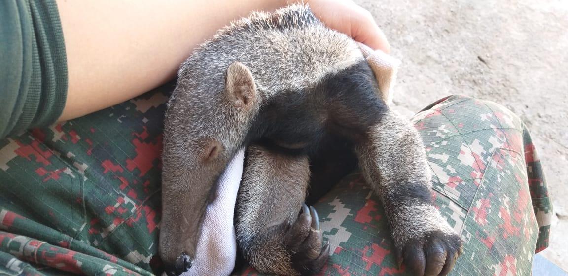 PMA resgata filhote de tamanduá-bandeira agarrado ao dorso da mãe que foi morta por atropelamento