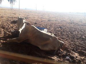 Cassilândia: arrendatário é multado em R$ 10 mil por morte e desnutrição de gado